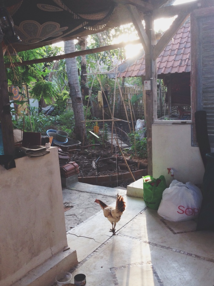 The Farmer's Yard chicken roaming